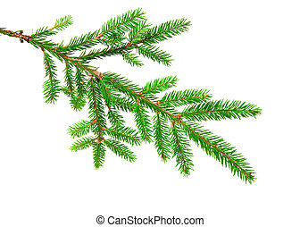 fir - green banch of fir isolated on white