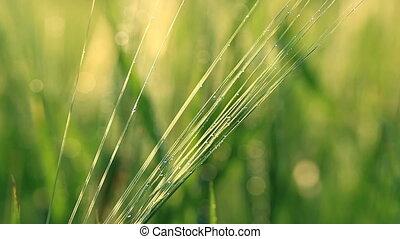 Green barley close-up - Morning dew on barley close-up....