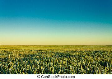 A barley field with shining green barley ears in early summer