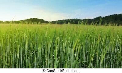 Green barley field and sky. - Summer barley field and...