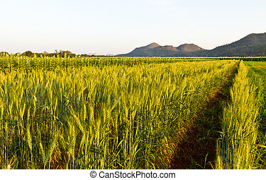 Green barley field in spring on a sunny day