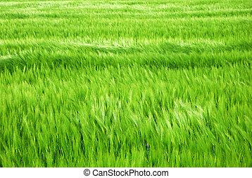 Green barley field in windy springtime
