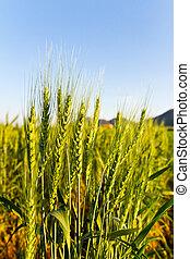 Green barley field on a sunny day