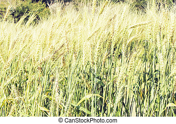 Green barley field with oats on sunset