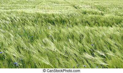 Green Barley - Green barley in the wind