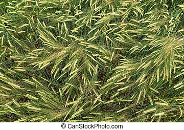 Green barley in growth