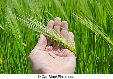 green barley in hand