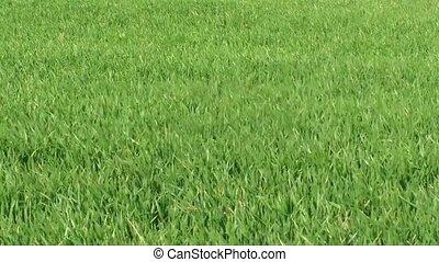Green barley in quiet wind