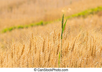 Green barley on a field