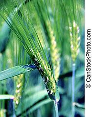 Green barley on the field.