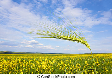 Green barley spikelet over field