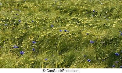 barley - green barley