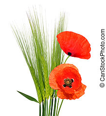 Green Barley with red poppy