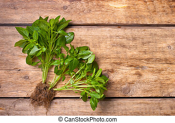 Green basil on the wooden table