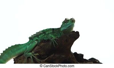 Green basilisks or Basiliscus basiliscus on wooden snag in...