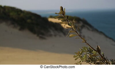 Green Beach Shrub Fruit, Qld Island, Australia - Close-up...