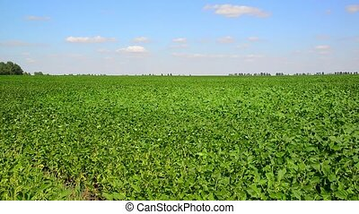 Green bean field on sunny day - Green bean field on a sunny...