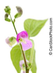 green bean flower isolated on white background