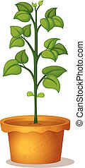 Green bean plant in clay pot on white background