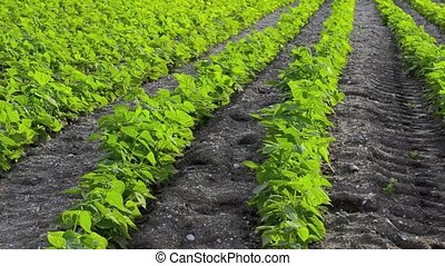 Green beans plants aligned in rows.