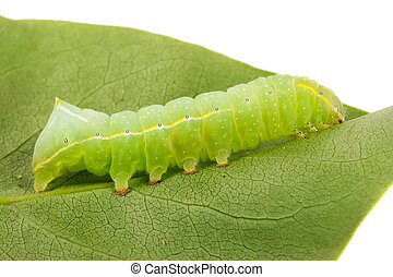 Green beautiful caterpillar on leaf close up.
