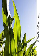 green beautiful corn foliage
