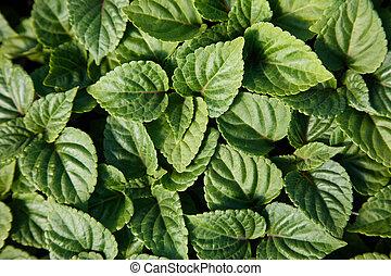 Green Bedding Plants