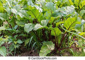 Green beet leaves in the garden closeup