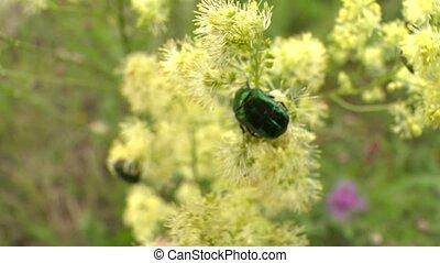 green beetle Cetonia aurata on flower bloom. Closeup shot