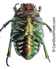 green beetle insect