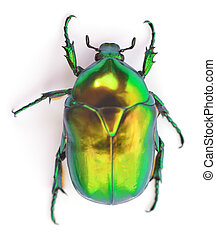 Green beetle on white. - Green beetle insect rose chafer...