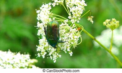 Green beetle sitting on a leaf.
