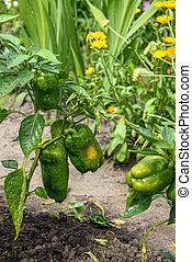 Green bell pepper