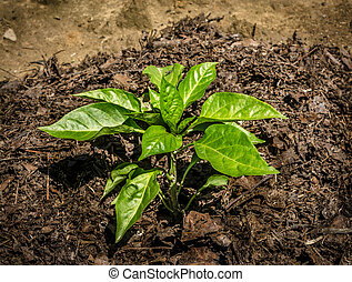 Green bell pepper growing in the garden