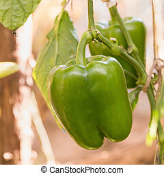 Green bell pepper growing on a plant
