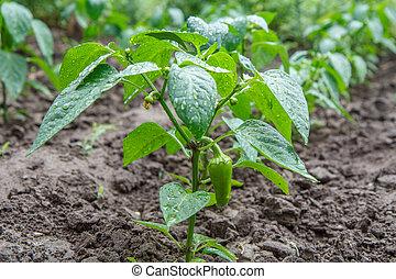 Green bell pepper growing on bush in the garden.