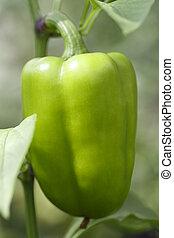 green bell pepper on a branch