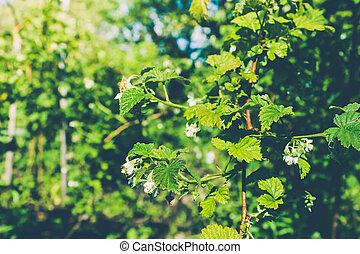 Green berry on raspberry bush in garden