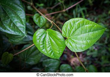 Green betel leaf.