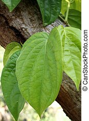 betel - green betel on the tree