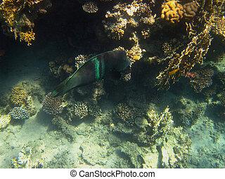 green big fish
