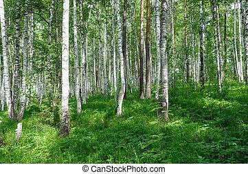 green birch forest summer season