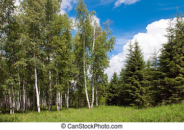 green birch grove and some pine forest at summer time
