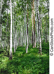 green birch grove forest at summer time