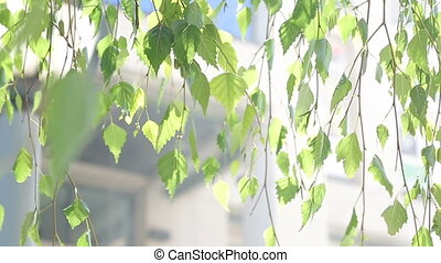 green birch leaves in the wind in summer