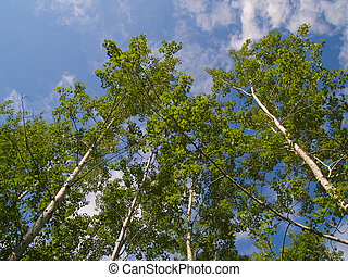 Green Birch Reaching Into Blue Sky