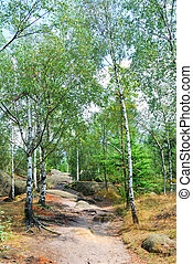 Green birch trees and narrow hiking trail