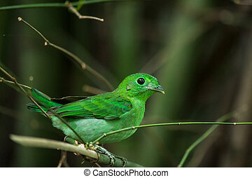 Green bird, a male Green Broadbill (Calyptomena viridis),...