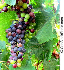 Green & Black Grapes - Bunch of green and black grapes
