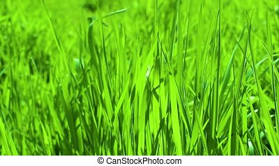 Green grass blades blowing in the wind. Close up with shallow depth of field.